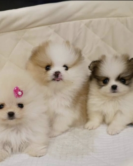 Party Color Teddy Face Boo Pomeranian